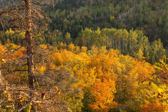 Aspens Pines and Maples on Hillside in Autumn Color