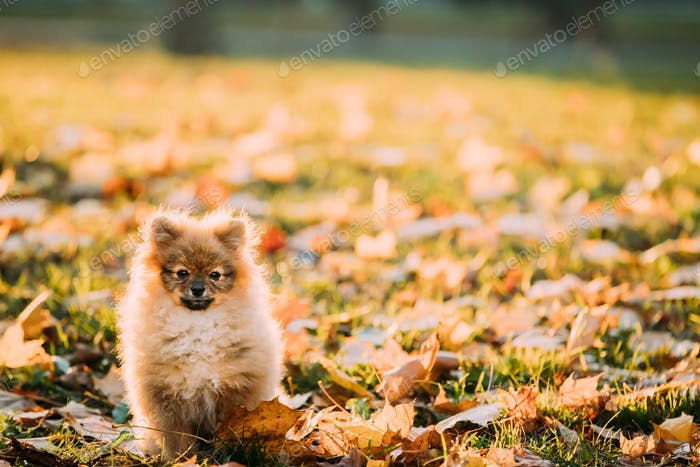 Funny Happy Young Red Puppy Pomeranian Spitz Puppy Dog Play Outd