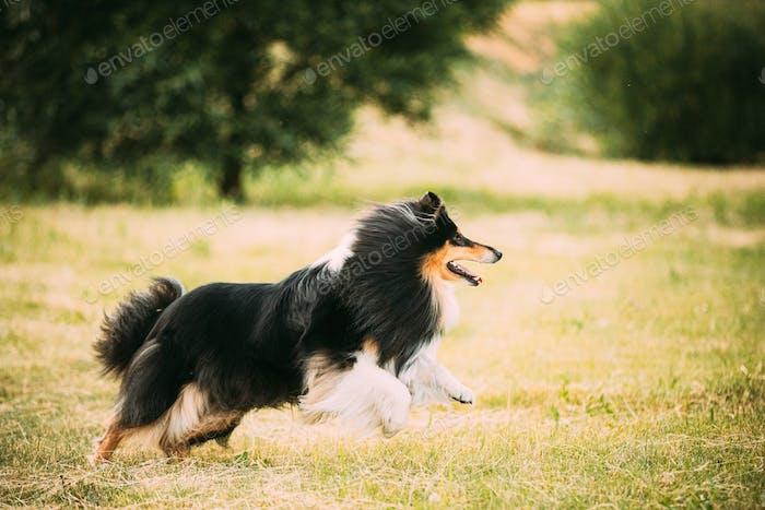 Shetland Sheepdog, Sheltie, Collie. Running Outdoor In Summer Grass