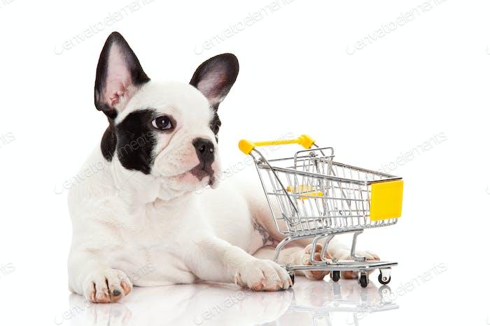 Französische Bulldogge mit Einkaufswagen isoliert auf weiß. Lustiger kleiner Hund.