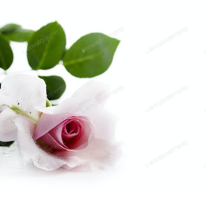 Rosa/Rose