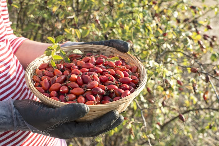 Picking rosehip