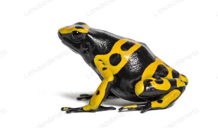 Yellow-banded poison dart frog, Dendrobates leucomelas, in front of white background