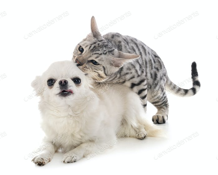 bengal cat and chihuahua