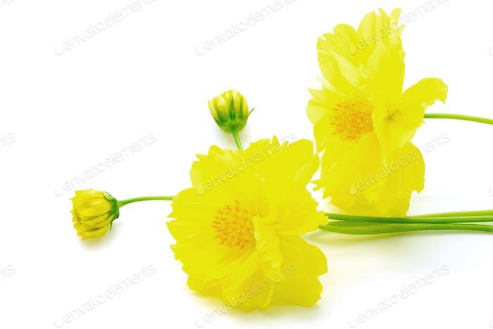 yellow Cosmos fllower