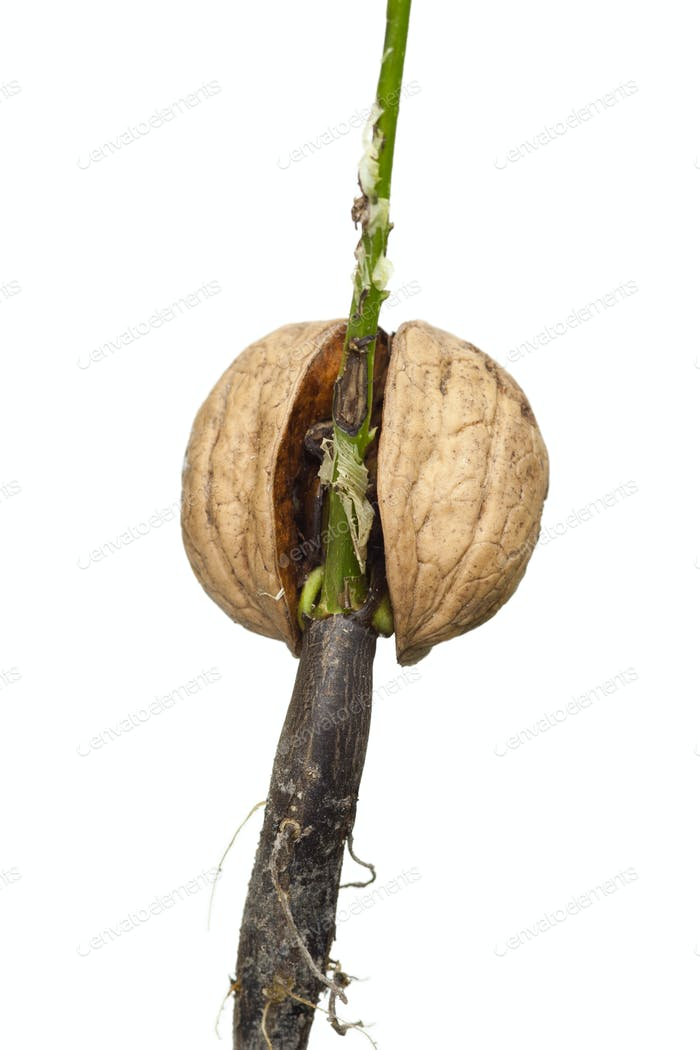 Sprouting nut