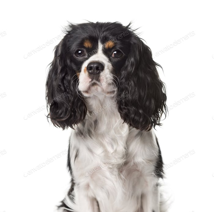 A Cavalier King Charles looking away, isolated on white