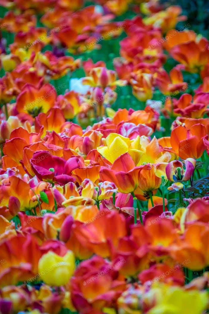 Feld der roten, orangen und gelben Tulpen