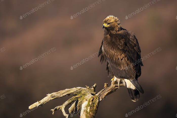 Golden eagle sitting on a treetop on a sunny winter day with copy space