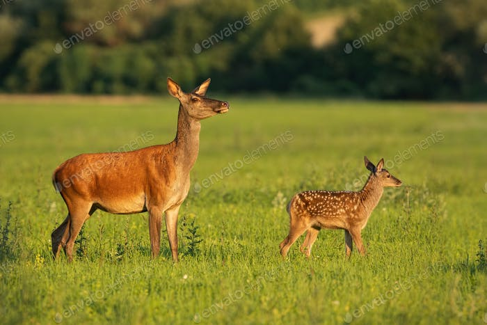 Red deer hind with calf on a green meadow in summer at sunset