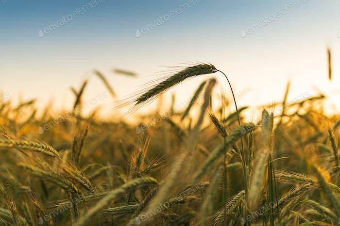 Пшеничное поле. Уши золотой пшеницы в крупном месте. Красивая природа Закат Ландшафт