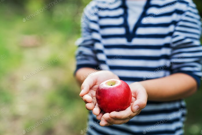 An unrecognizable small boy holding an apple in orchard.