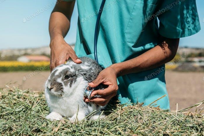 Veterinarian examining a bunny in a hay field