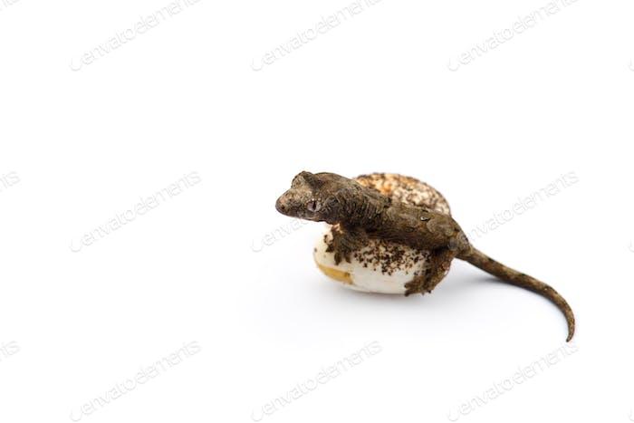 Der moosige Neukaledonische Gecko isoliert auf weißem Hintergrund