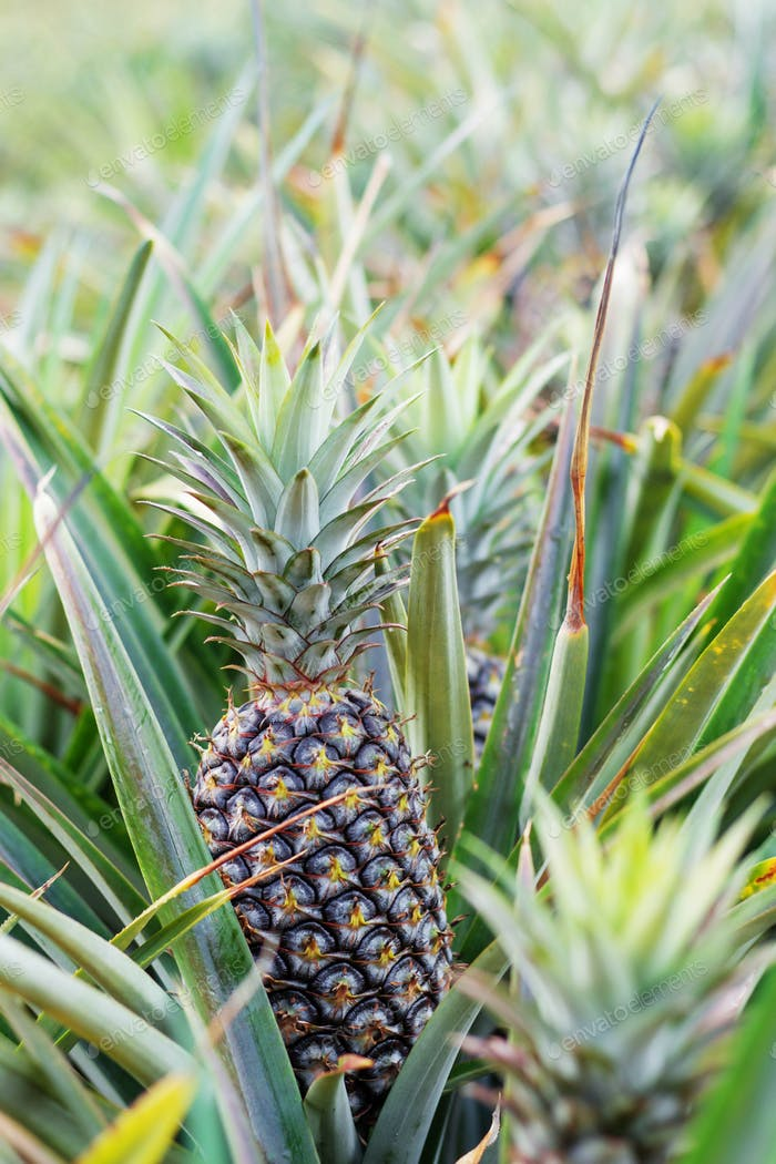 Pineapple growing on trees