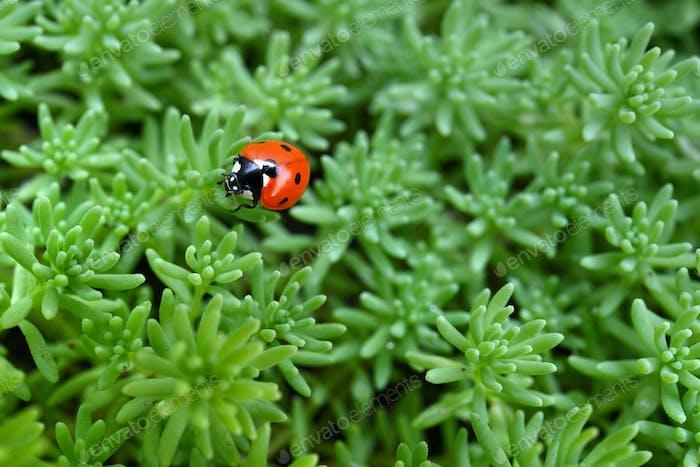 Ladybug on green grass background