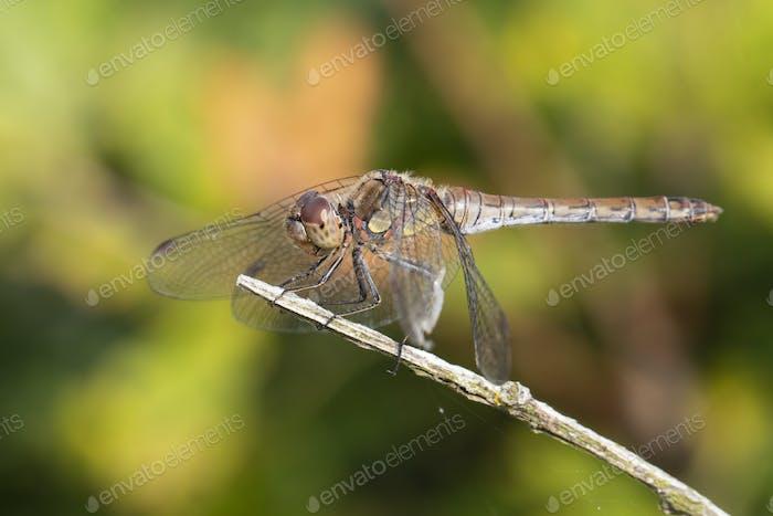 SYMPETRUM SANGUINEUM dragonfly, close up
