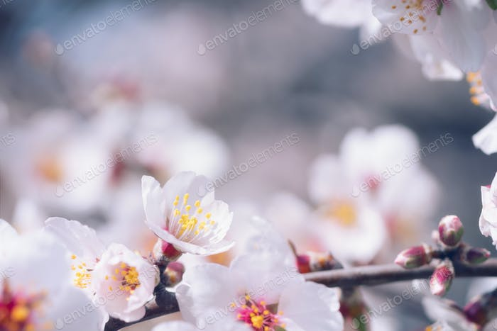 Branch flowering almonds with beautiful flowers close-up
