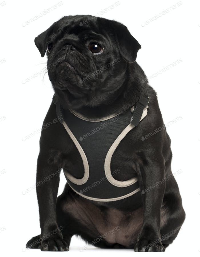 Pug wearing vest, 1 year old, sitting in front of white background