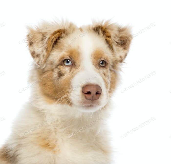 Close up of an Australian Shepherd puppy, 3.5 months old, looking away against white background