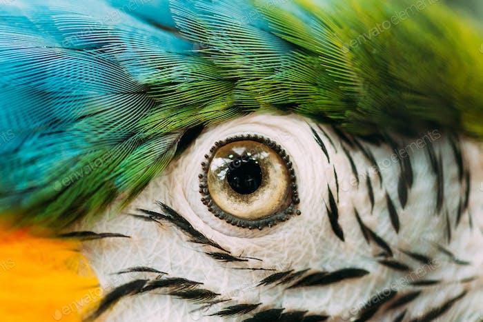 Auge von blau-gelben Ara auch bekannt als der blau-goldene Mac