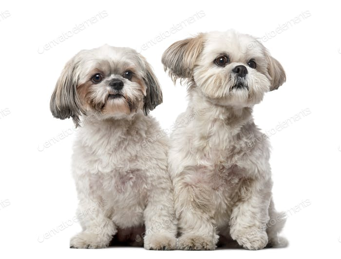 Two Shih Tzus in front of a white background