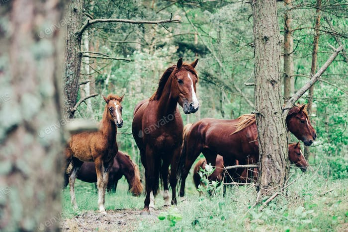 Herd of brown horses walking in the green forest.