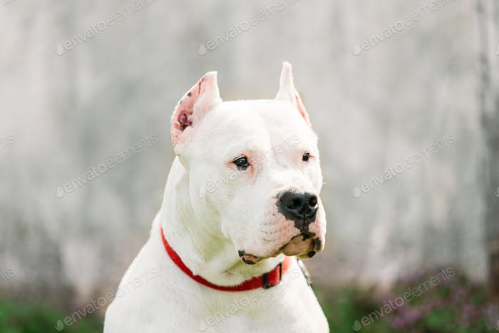 White Dog Of Dogo Argentino Also Known As The Argentine Mastiff