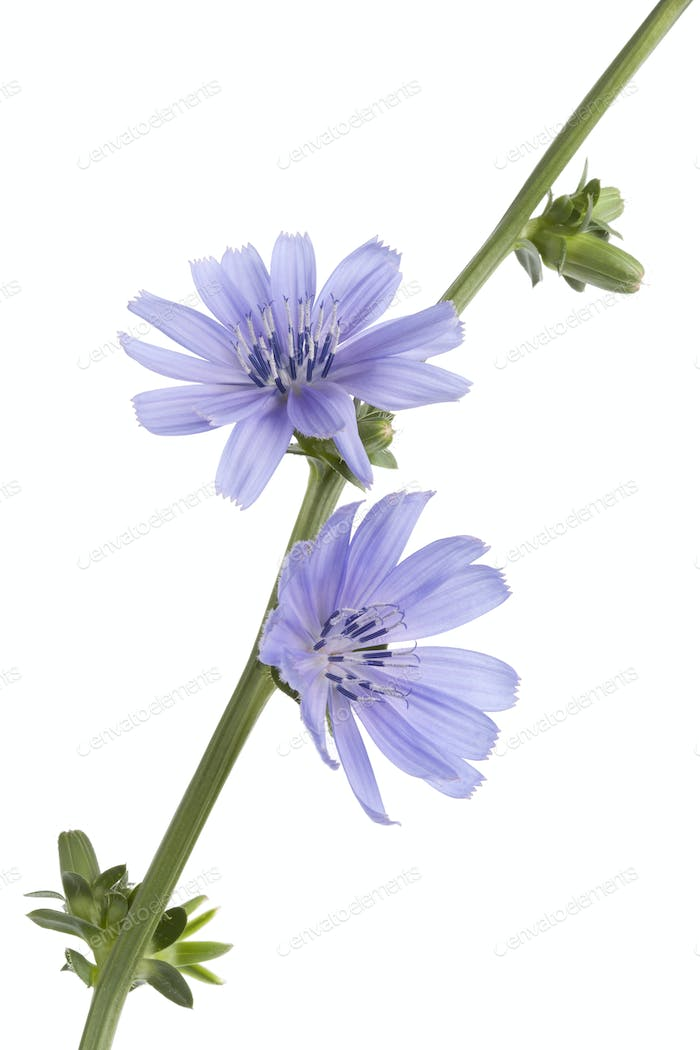 Fresh blue flowering chicory