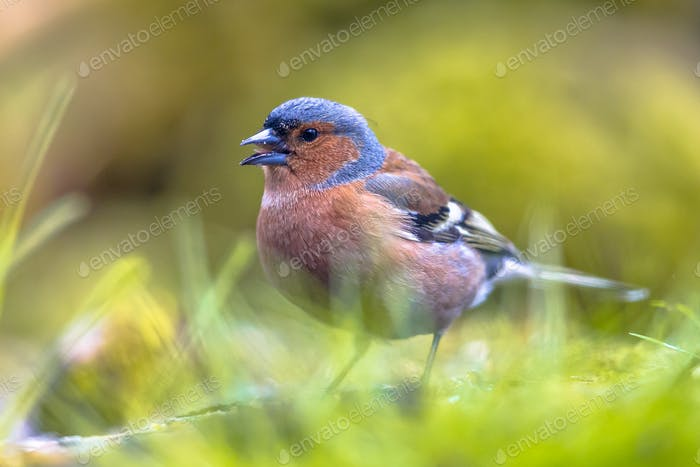 Chaffinch foraging in grass on lawn
