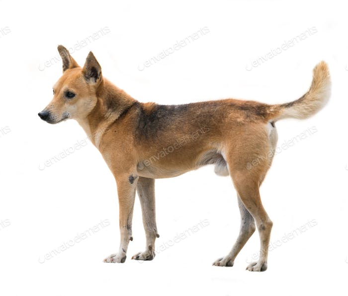 domestic thai dog isolated