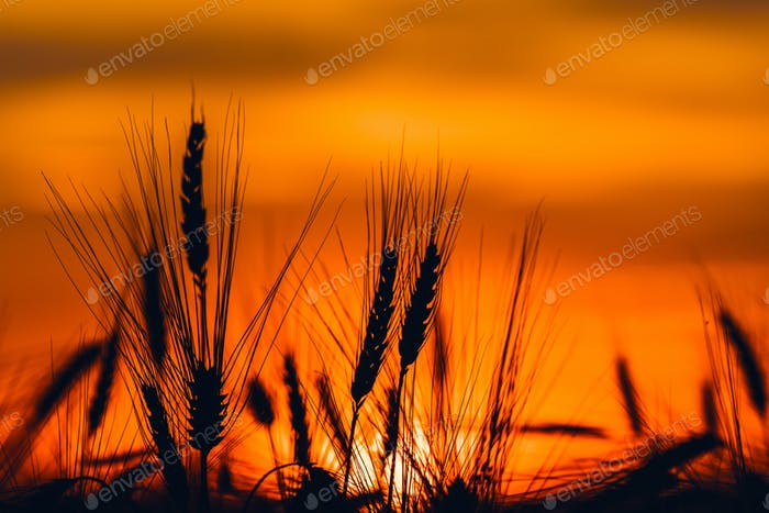 Silhouette of cereal crop ears in sunset