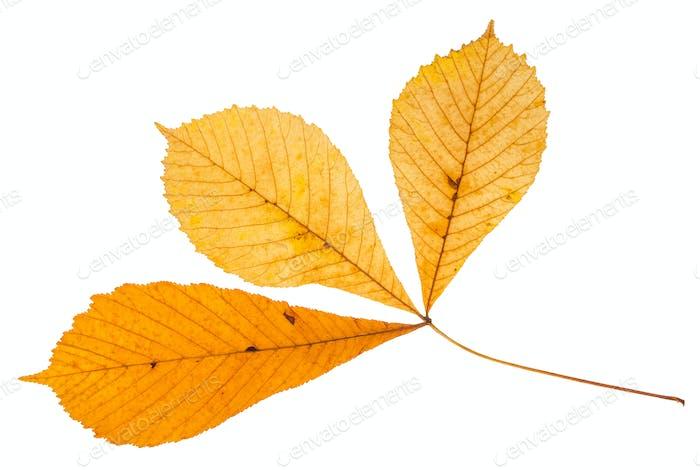 twig with three leaves of buckeye tree isolated