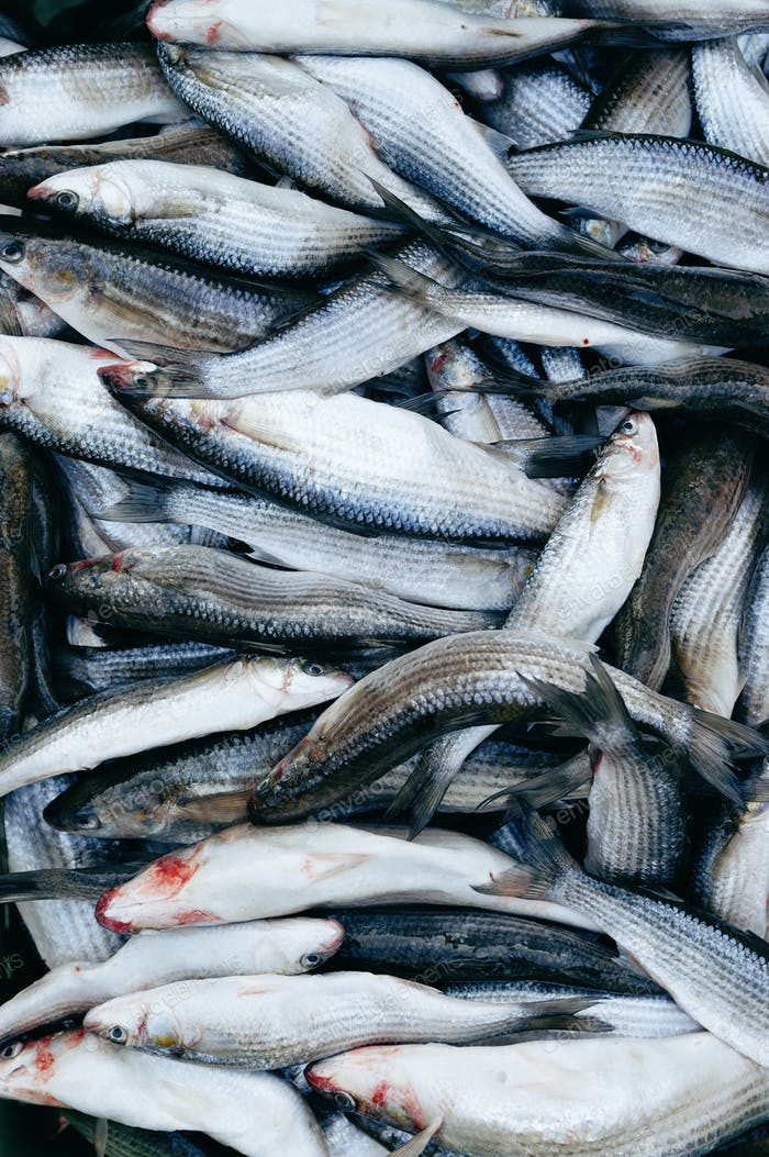 Grey Mullet fish background
