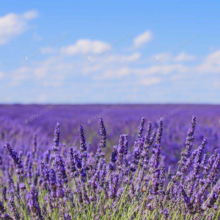 Lavendel Blume blühenden Felder Horizont. Valensole Provence, Fra