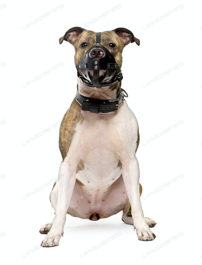 Bull Terrier (2 years)