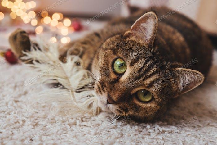 Cat lie on floor. Close up portrait.