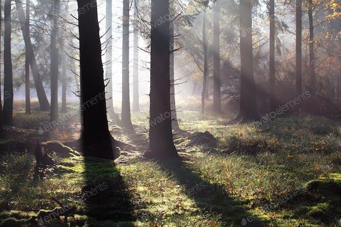 утренние солнечные лучи в осеннем лесу