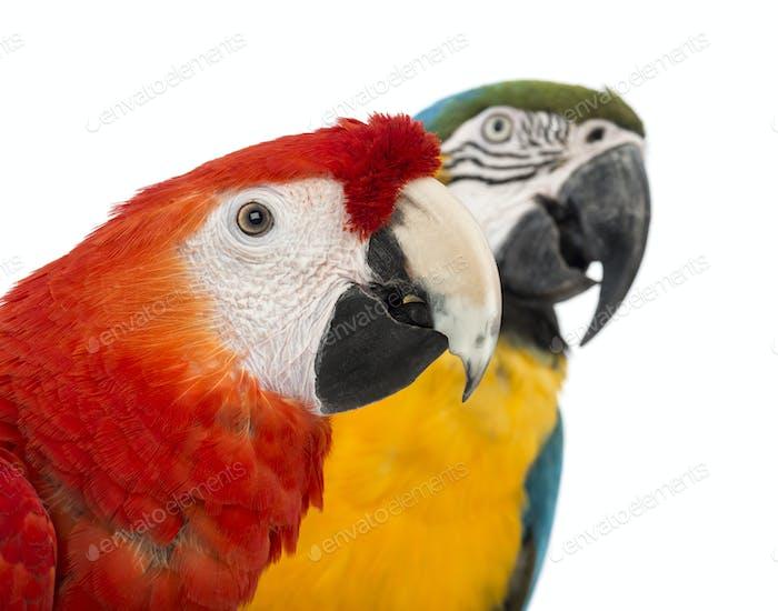 Blue-and-yellow Macaw, Ara ararauna, 30 years , and Green-winged Macaw, Ara chloropterus, 1 year