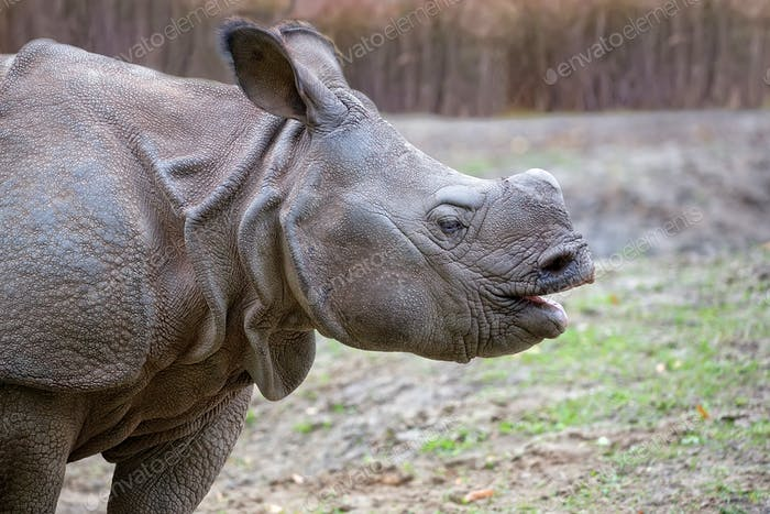 Rhino in a clearing, a portrait