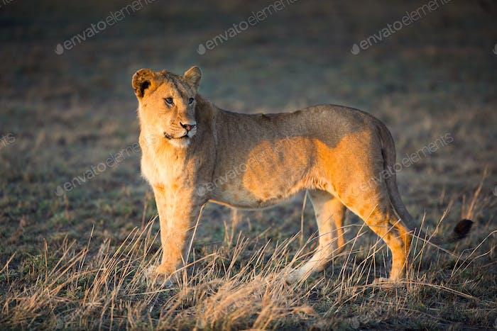 Löwe in Serengeti