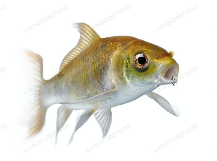 Yellow carp fish with mouth piercing swimming against white background, studio shot