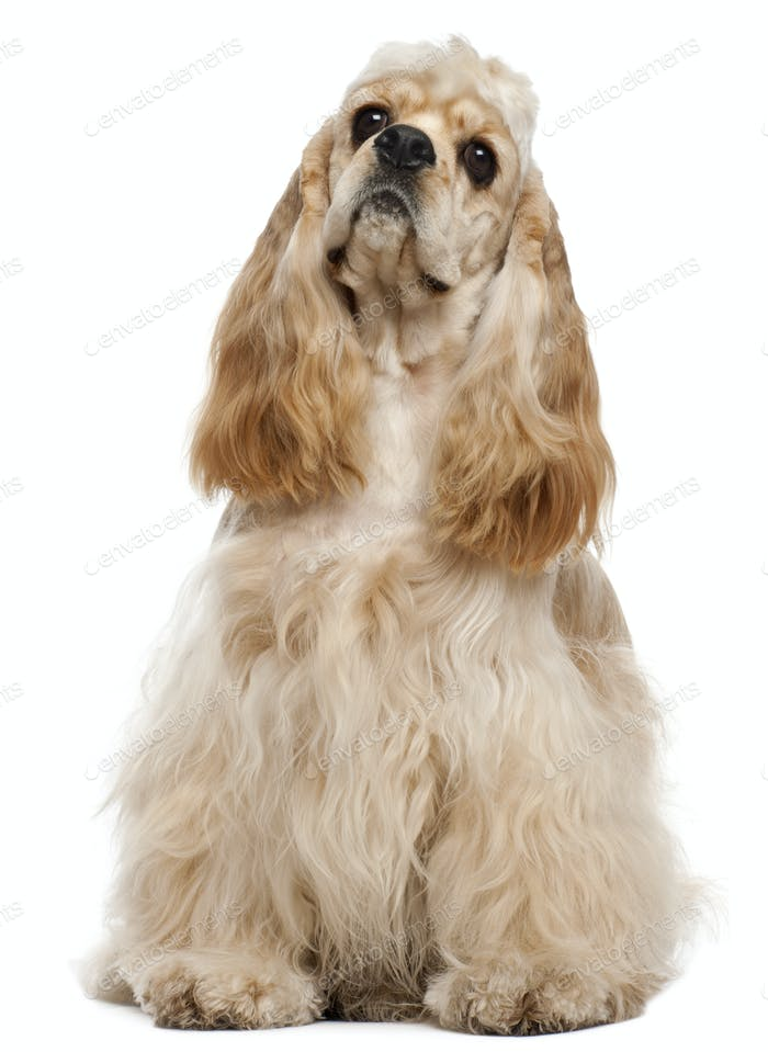American Cocker Spaniel, 1 year old, sitting in front of white background