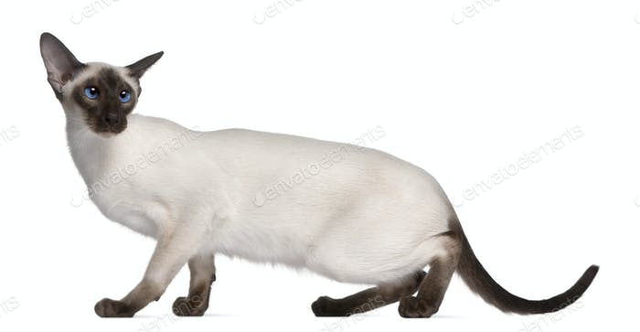 Siamese kitten, 7 months old, in front of white background