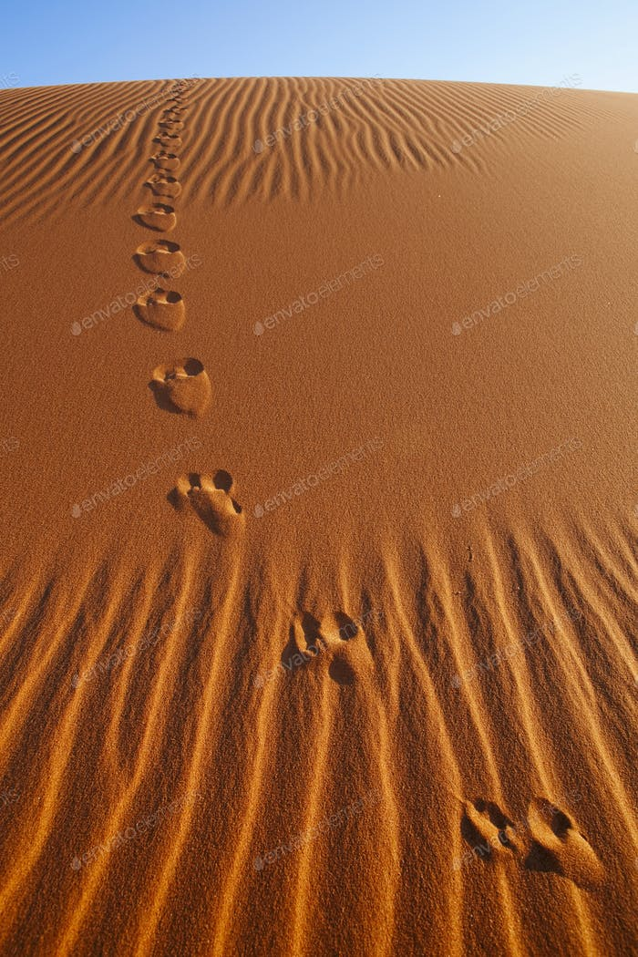 Vulpes chama, Cape fox tracks, in Namib-Naukluft National Park, Namibia