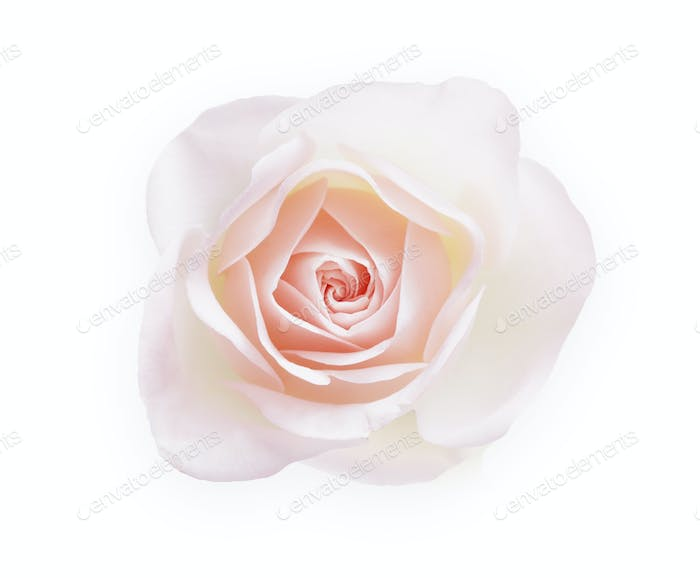 White opened rose bud isolated on white top view