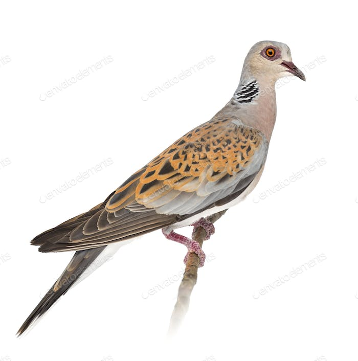 European Turtle Dove, Streptopelia turtur, also known as the Turtle Dove against white background
