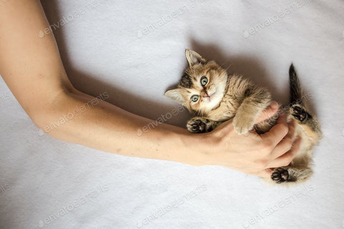 Person laid his hand on belly cute kitten