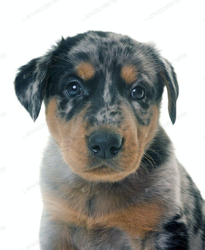 puppy beauceron in studio