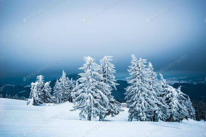 Fir trees swaying in the wind in the snow
